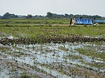 03306jfBirds Sanctuary Ducks Wetland Marshes Rice Fields Candaba Pampangafvf 07.JPG