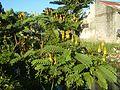 07875jfSenna alata flowers Cassia alata L. ringworm bush Philippinesfvf 05.jpg