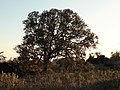 089quercus rotundifolia.JPG