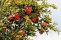 0 Torcello, Punica granatum - Fruits et feuillage d'un grenadier commun poussant dans l'île (2).JPG