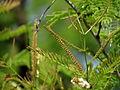 1-Acacia ferruginea 02.JPG