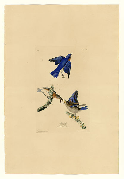 Plate 113 of Birds of America by John James Audubon depicting Blue-bird.