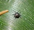 1st instar nymph of Woundwort Sheild bug ? (36523050250).jpg