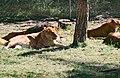 2002-04-28 5313 Gänserndorf Löwin.jpg