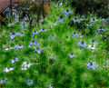 2007-10-25Nigella damascena 13.jpg