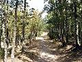 2011-09-17 Camino por un bosque de encinas - panoramio.jpg