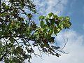 20120905Paulownie Hockenheim2.jpg