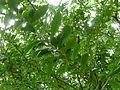 20121204 WahiawaBG CrescentiaCujete Cutler P1380379.jpg