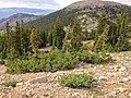2013-07-14 16 33 58 Krummholz Engelmann Spruce at tree-line on Wheeler Peak near the Wheeler Peak Summit Trail.jpg