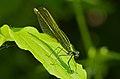 2013.07.13.-05-Anglersee-Bruehl-Gebaenderte Prachtlibelle-Weibchen.jpg