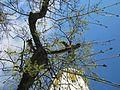 20130423Esche Wasserturm Hockenheim1.jpg