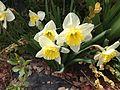 2014-04-21 11 01 11 Daffodils in Elko, Nevada.JPG