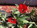 2014-05-02 14 14 23 Tulips in Elko, Nevada.JPG