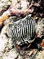 2015 09 Bali 12 stripey nudi (21906168379).jpg