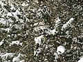 2016-02-15 09 15 07 Snow-covered evergreen foliage on a bush along Lees Corner Road (Virginia State Secondary Route 645) in the Franklin Glen section of Chantilly, Fairfax County, Virginia.jpg