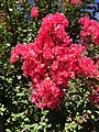 2016-08-07 10 11 22 Crape Myrtle blossoms along Tranquility Court in the Franklin Farm section of Oak Hill, Fairfax County, Virginia.jpg