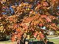 2016-11-15 11 20 57 Red Oak autumn foliage along Franklin Farm Road near Tranquility Lane in the Franklin Farm section of Oak Hill, Fairfax County, Virginia.jpg