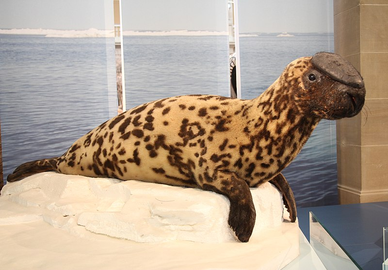 foca capuchina en riesgo de extinción