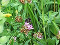 2018-06-01 (113) Insect of Trifolium pratense (red clover) at Bichlhäusl in Frankenfels, Austria.jpg