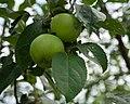 2018-07-15 Green apples on tree.jpg