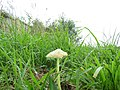 2018-09-12 Fungi, Paston Way footpath, Knapton (2).JPG