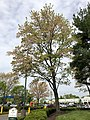 2019-04-25 12 07 09 A Red Maple heavily laden with mature seeds at the Franklin Farm Village Shopping Center in the Franklin Farm section of Oak Hill, Fairfax County, Virginia.jpg