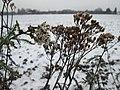 20190103Achillea millefolium3.jpg