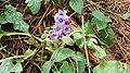 2020-03-01 (106) Pulmonaria officinalis (common lungwort) at Haltgraben, Frankenfels, Austria.jpg