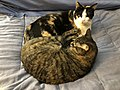 2020-03-09 07 30 41 A tabby cat and a calico cat cuddling on a bed in the Franklin Farm section of Oak Hill, Fairfax County, Virginia.jpg
