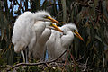 2 of 6 Great Egret (Ardea alba) nest with three chicks at the Morro Bay Heron Rookery (3613154786).jpg