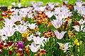 35-101-5005 Tulips Dendropark Kropyvnytsky DSC 4688.jpg