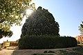 4,000-year-old Iranian cypress (6223138931).jpg