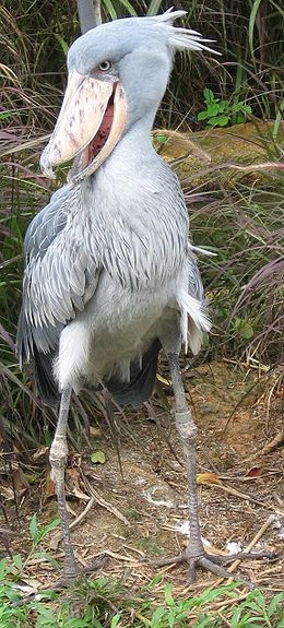 450px-Shoebill-cropped.JPG