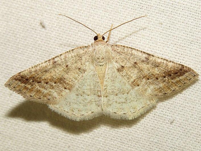 6807 - Tacparia detersata (Pale Alder) (14460921314).jpg