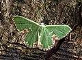 70.300 BF1667 Blotched Emerald, Comibaena bajularia (14404658195).jpg