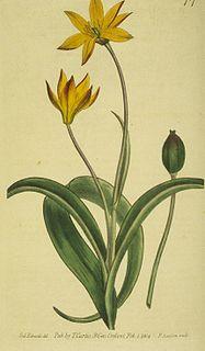 Tulipeae tribe of plants