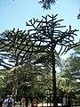 98676 м. Ялта, м. Алупка. Мавп'яче дерево.jpg