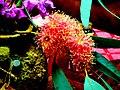 A@a flowers (eucalyptus) - panoramio (2).jpg