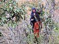 A Pahadi Woman Pruning fruit tree near Chail, Himachal Pradesh.jpg