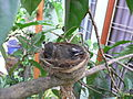 A Pied Fantail chick 2.JPG