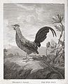A cockerel (Phasianus gallus). Etching by J. Fittler after C Wellcome V0022299.jpg
