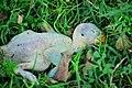A dead Parakeet.jpg
