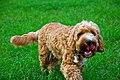 A pet dog.jpg