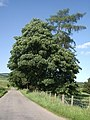 A roadside tree by Loch Sauch - geograph.org.uk - 1387163.jpg