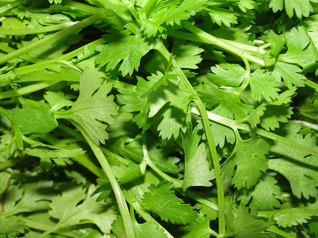 A scene of Coriander leaves