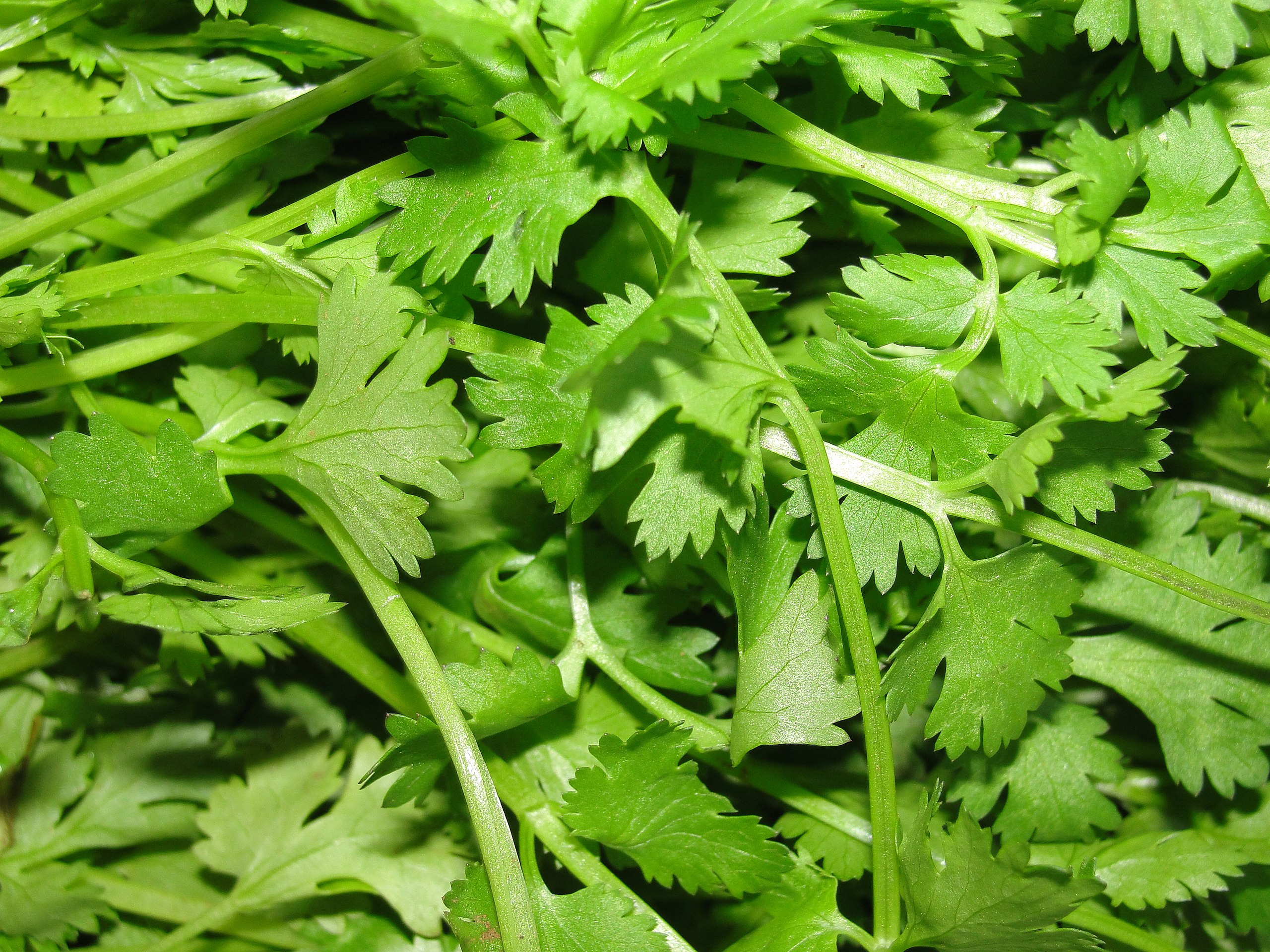 image of cilantro