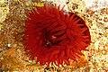 Aberdour Bay, Beadlet anemone in rock-pool - geograph.org.uk - 824529.jpg