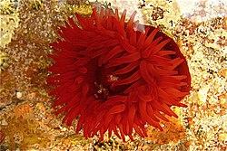 Une actinie rouge, sous l'eau