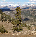 Abies cilicica - Taurus fir - Sapin de Cilicie 01.JPG