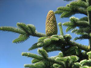 Abies procera - Image: Abies procera cone